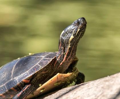 tortue14 (1 sur 1)