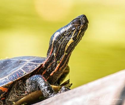tortue18 (1 sur 1)
