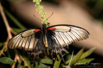 papillon24