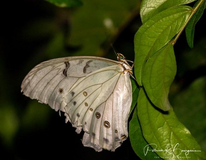 papillon27