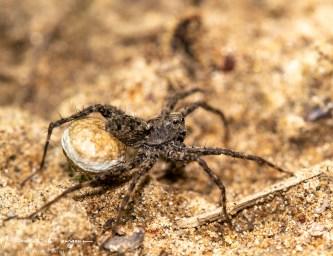 araignée-oeufs2