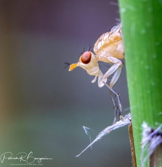 diptère drosophilidae