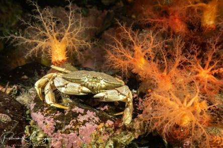 crabe psolus