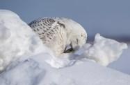 harfang neige4