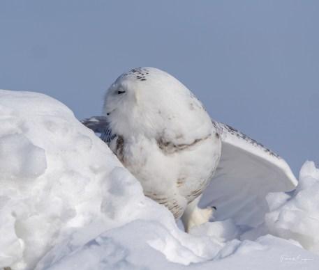 harfang neige9
