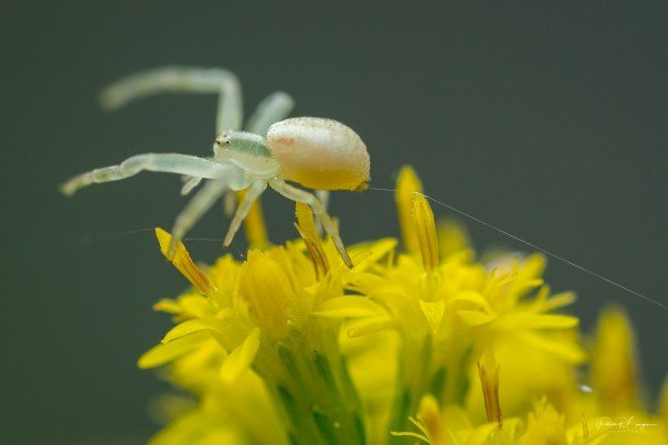 araignée-crabe3