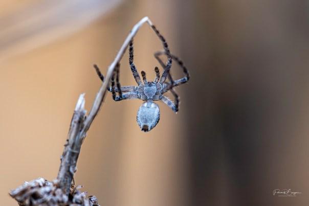 araignée2