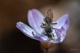 claytonie abeille