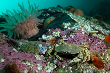 crabe anémone surface