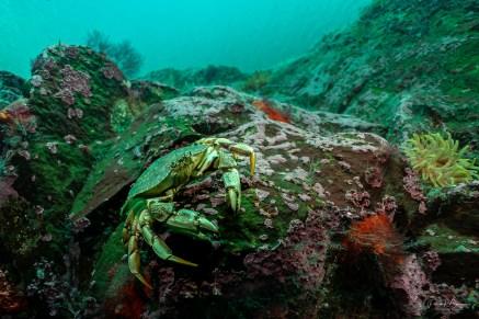 crabe commun visi