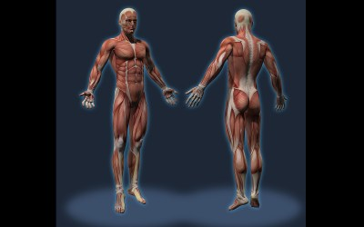 A 3D medical image and rendering of the various muscle groups from Patrick Turner Studios
