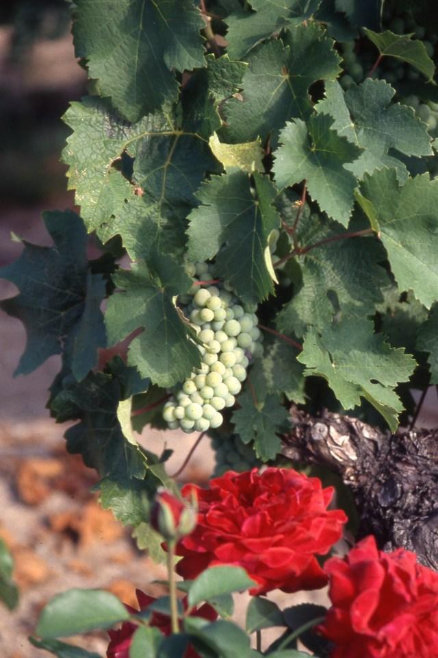 Vigne et son rosier rouge.