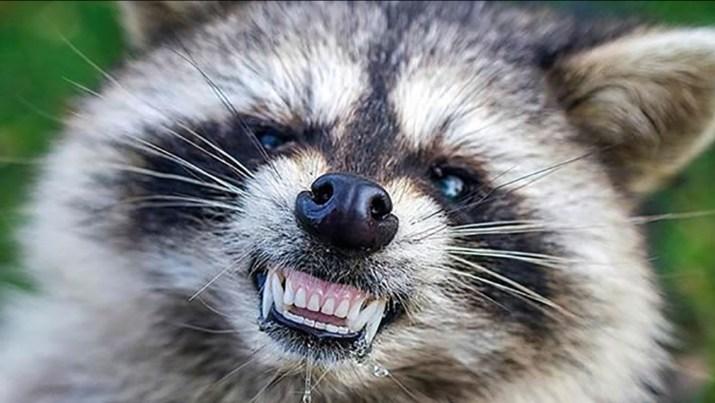 Rabid Racoon