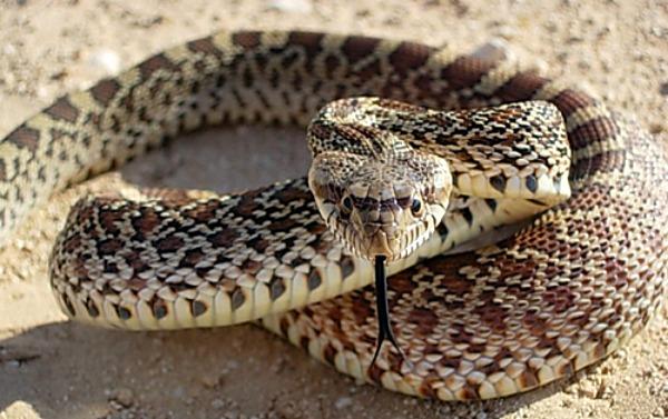 Bull-Snake-Pic