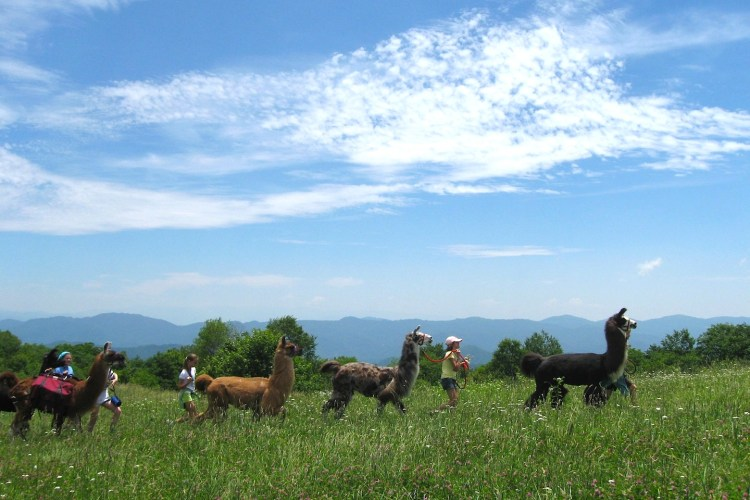 four llamas in a row