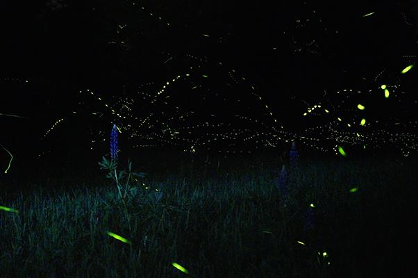 Fireflies putting on a spectacular light show.