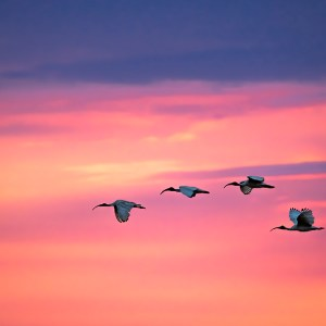 Photograph by professional Patrizia Acco Photographer, nature, sky, Ibis Bird, flight, fly, sunny, sunrise, sun, wild, avian, wildlife, animal, environment, bird, beak, raptor, horizon, bird of prey, scavenger, green, birding, sunlight, sunset, air, view, outdoors, evening, prey, bird flying, season, wings, wild bird, graceful, bird in flight, blue, natural, white, summer, hunter, wilderness, speed, feathers, birdwatching, clouds, pointing, migrating, group, earth, flock, symbol, sign, dusk, away, dawn, silhouette, autumn, migrate, migration, motion, journey, surreal, imagination, herd, scenery, meadow, park, springtime, village, grass, world, plantation, countryside, specific, summertime, atmosphere, landscape, outdoor, grassland, birds, weather, farm, nobody, cloud, scenic, farmland, field, peace, flying, outside, skyline, fields, gorgeous, eye, bird's, beautiful, amazing, morning, adventure, height, enchanting, outside, outdoor, environment, wildlife, winter, feathers, bird, small, sunset, sunrise, flighing above, springtime, nature, summer, countryside, sunset, landscape, summertime, sunlight, environment, outdoor, horizon, birds, season, sunny, bird, spring, sky, natural, flight, sunrise, peace, flying, colourful, dawn, evening, horizon, sunrise, sky, sunlight, sunset, beautiful, morning, sunny, dream, sundown, paradise, season, scenery, silhouette, purple, majestic, nature, tranquil