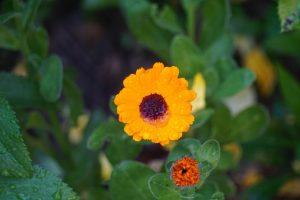 cvjet
