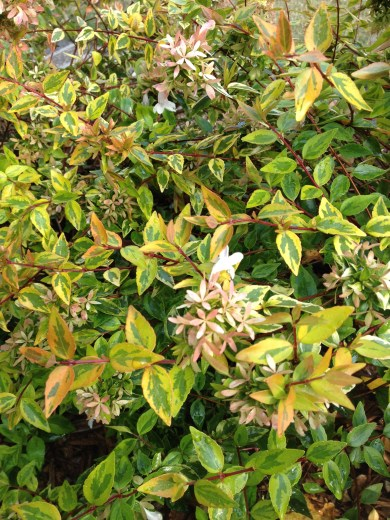 Abelia X grandiflora 'Kaleidoscope', a dwarf abelia whose variegated foliage provides year-round interest. Its flowers attract pollinators and leave behind lovely sepals when they've finished blooming.
