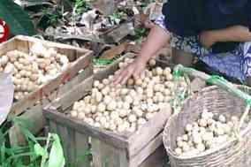 petani resah harga langsat turun drastis