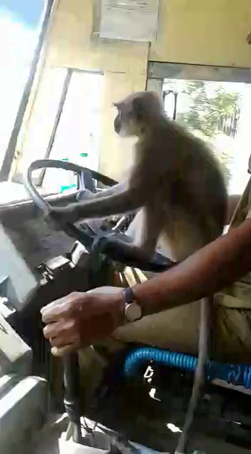 Video: Bus Driver Being Investigated After Letting A Monkey Take The Wheel