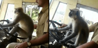 Bus Driver Being Investigated After Letting A Monkey Take The Wheel