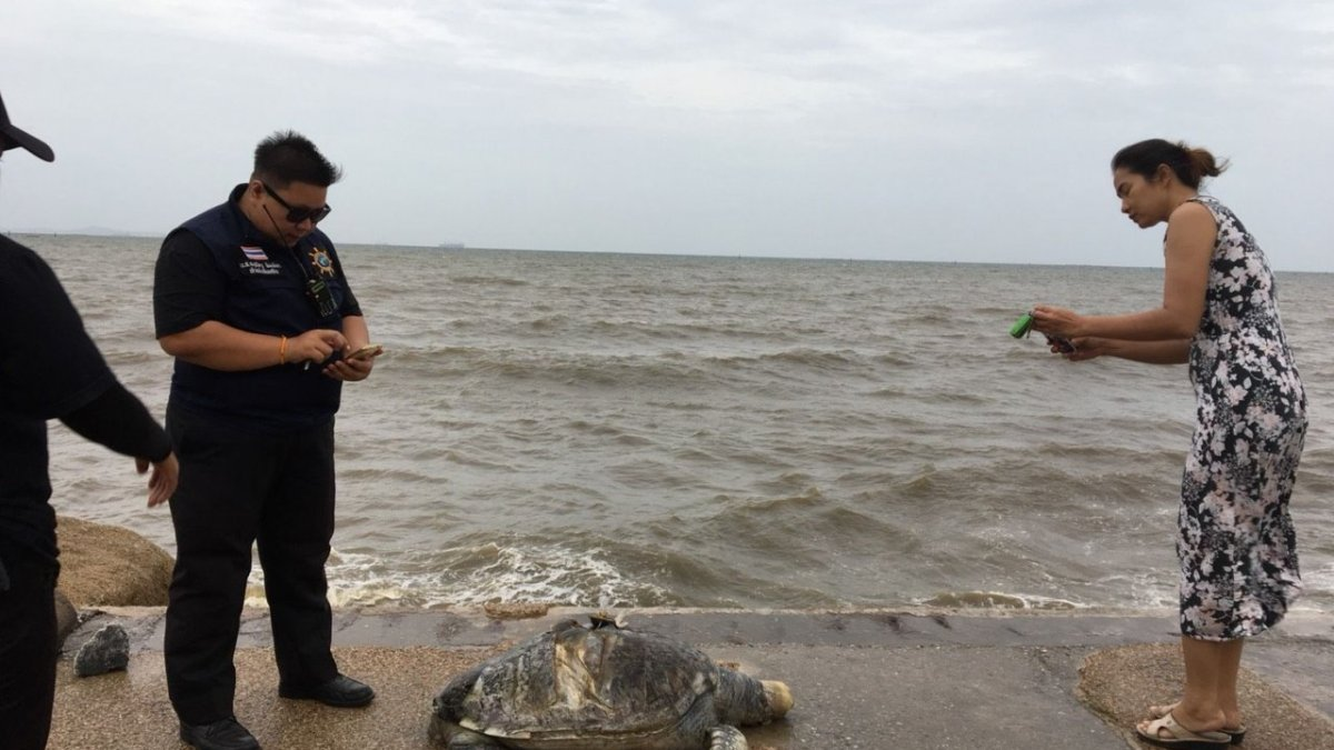 Carcass of 10-year-old green turtle washed ashore at Won Napa Beach