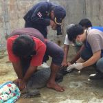 DNA tests reveal Phuket's Yanui is a …The DNA tests are in and reveal that Yanui is a saltwater crocodile. Phuket Fisheries Office chief Ko