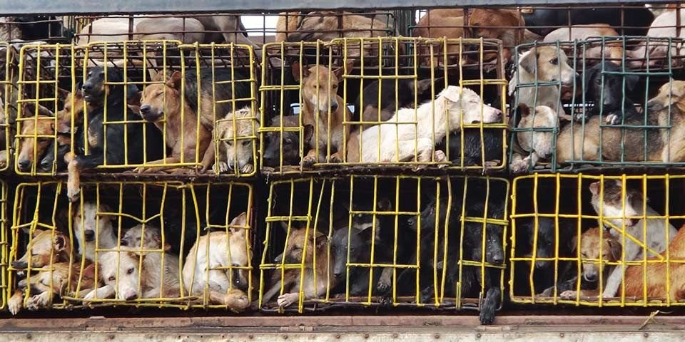 Soi Dog Foundation welcomes plan to ban dog meat trade in Hanoi