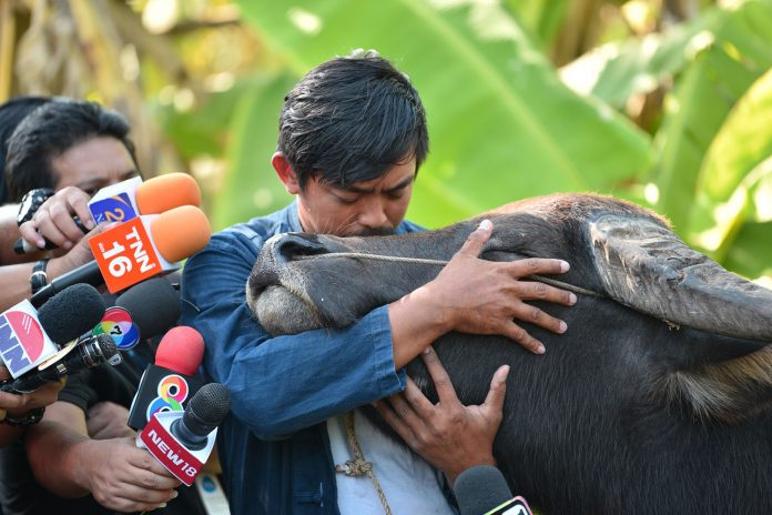 Video: SUMMONED BY POLICE, FARMER BRIEFLY REUNITES WITH SMILING BUFFALO