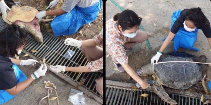 Plastic garbage found in body of dead sea turtle on Beach in Chon Buri