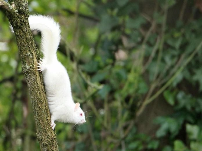 Super-rare albino squirrel pictured in UK