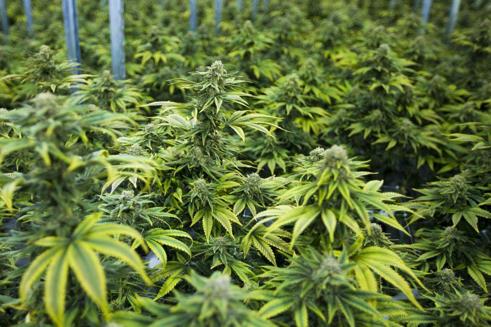 Marijuana Festival – Long Queues
