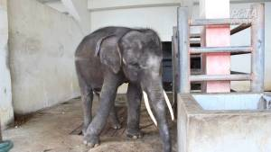 Investigation Reveals Torture Of Elephants And Primates In Thailand. A newly released investigation of Thailand's animal tourism industry has revealed