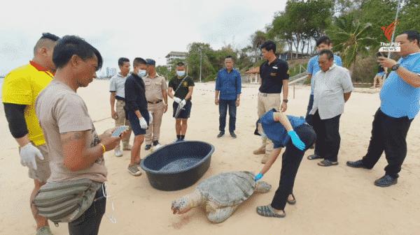 9th dead sea turtle found this year in Sattahip
