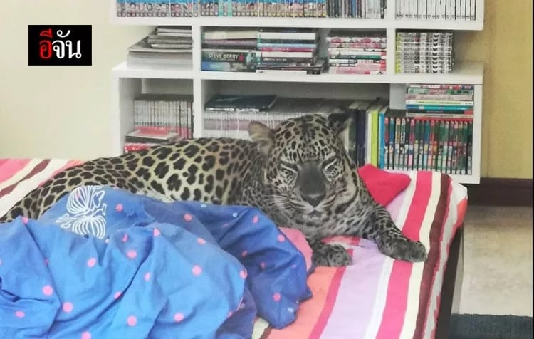 Villagers scared of leopard pet in Chonburi