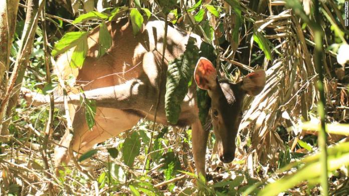 A sambar deer caught in a snare in Belum Telemgor forest in northern Malaysia, near the Thai border.
