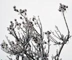 crepe myrtile berries 01