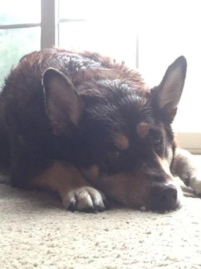 Milo after getting caught in a downpour on 25 June 2015. Poor thing HATES to get wet!