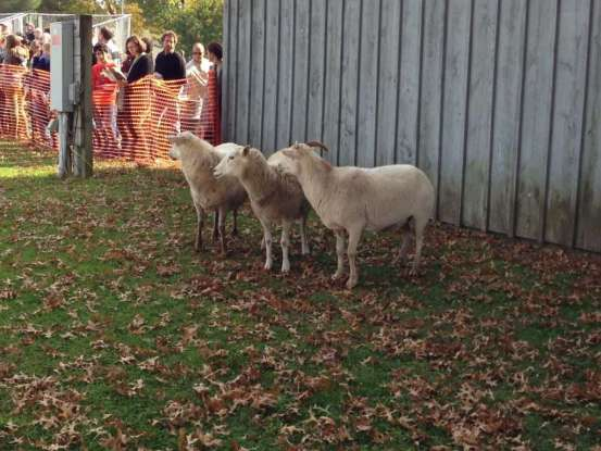 New York Sheep and Wool Festival - Fun Things to do at Rhinbeck