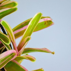 Bromelieds