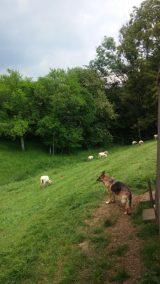 Schäflein auf der Weide