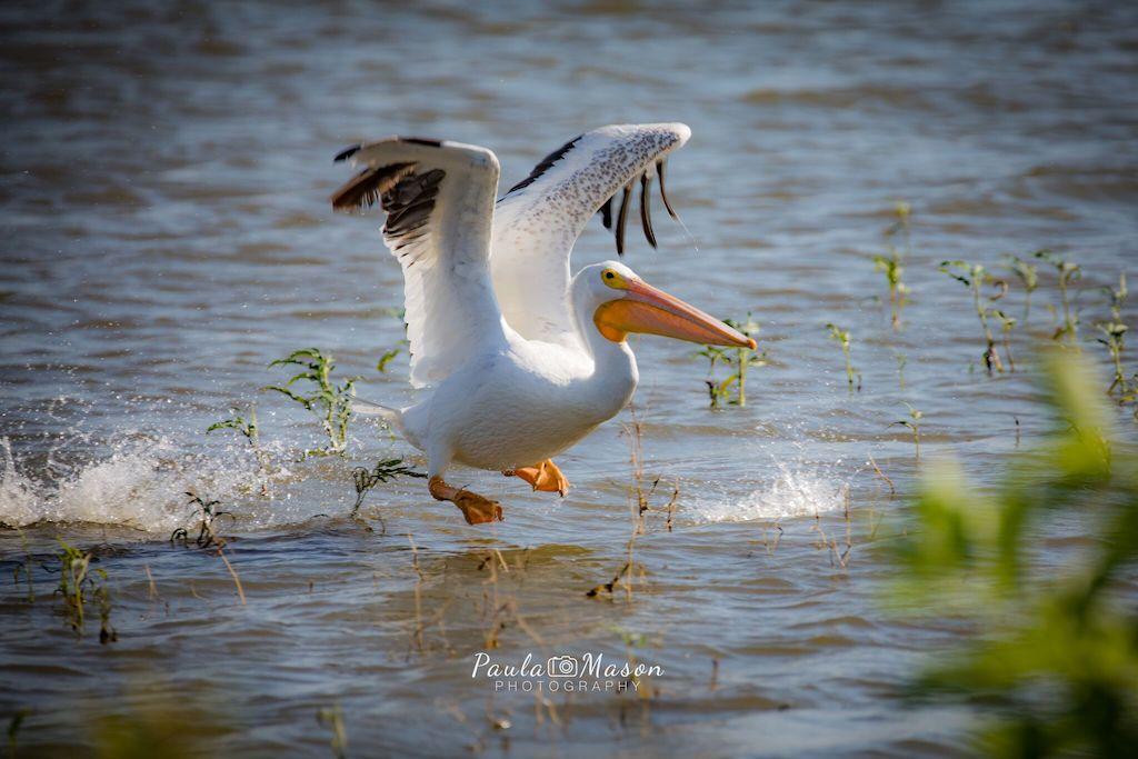 paula mason bird photography
