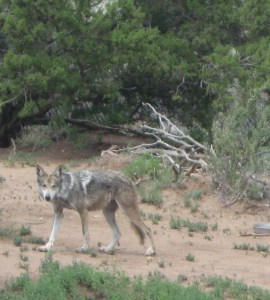 Mexican Gray Wolf at Wildlife West Nature Park Photo Credit:  Paula Nixon