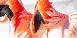 A flamingo spreading it's wings