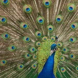 Lincoln Park Zoo Peacock Animal Photography