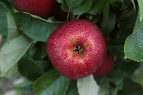 Äpfel sind das Lieblingsobst der Deutschen