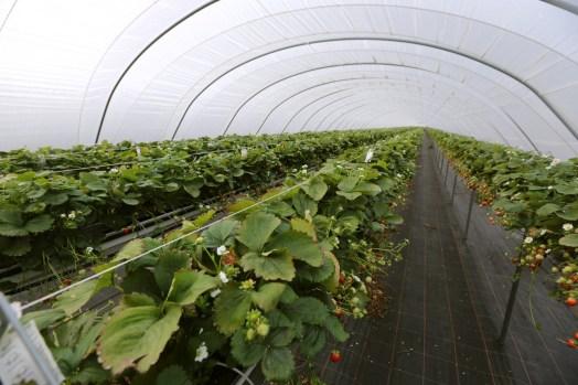 die Erdbeeren stehen auf Stelzen in den Folientunneln