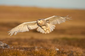 A female Snowy Owl arrives at her nest to look after her owlets.