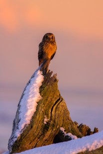 Short-eared Owls can be seen during the late afternoons, but they become most active after the sun sets.